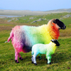 Neon Sheep Pictures