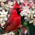 Pájaros Rojos