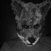 bachelor fox
