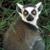 Lemur Futage