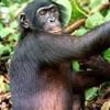 Bad Bonobo