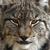 Late Nite Lynx