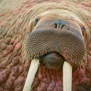 Profile picture for walrusnyc