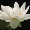 Lotus Flower Filmworks