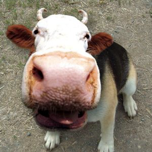 Profile picture for Dog Cow