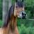 Maple View Arabians