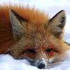 Me the fox