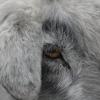 Cabra Carril