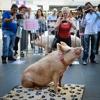 Melbourne Pig Save