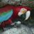 parrotsdotorg