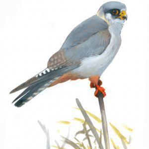 Profile picture for Chris 'The Falcon' Han