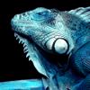 blue yguana