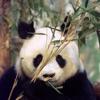 pandaponics