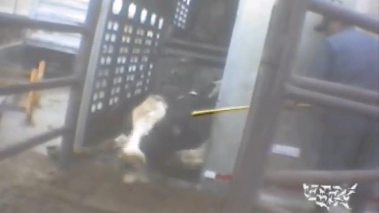 Undercover investigation at Chinos Hallmark Westland slaughterhouse (2008)
