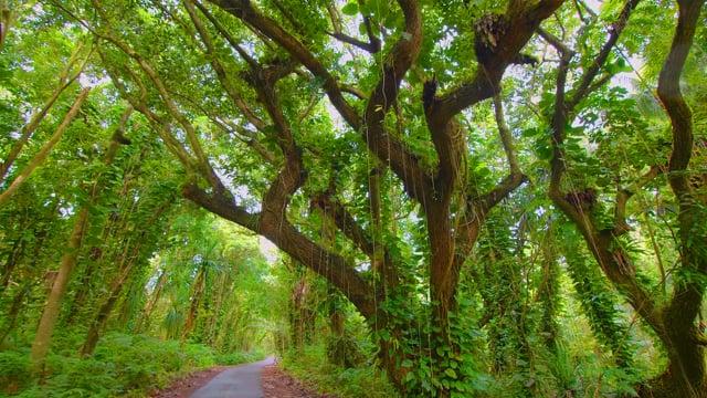 Puna Forest Reserve. Hawaii, Big Island - Short Video