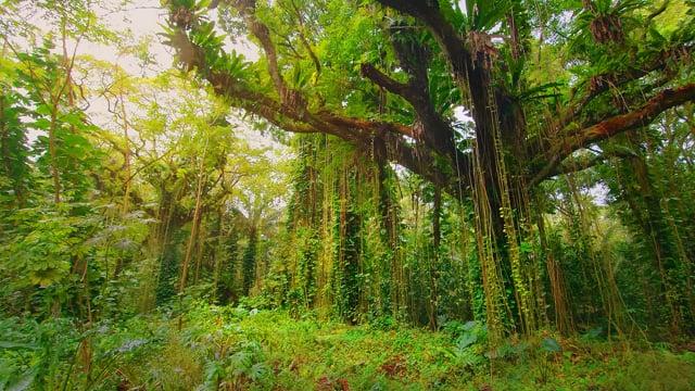 Puna Forest Reserve. Hawaii, Big Island - Nature Virtual Hike