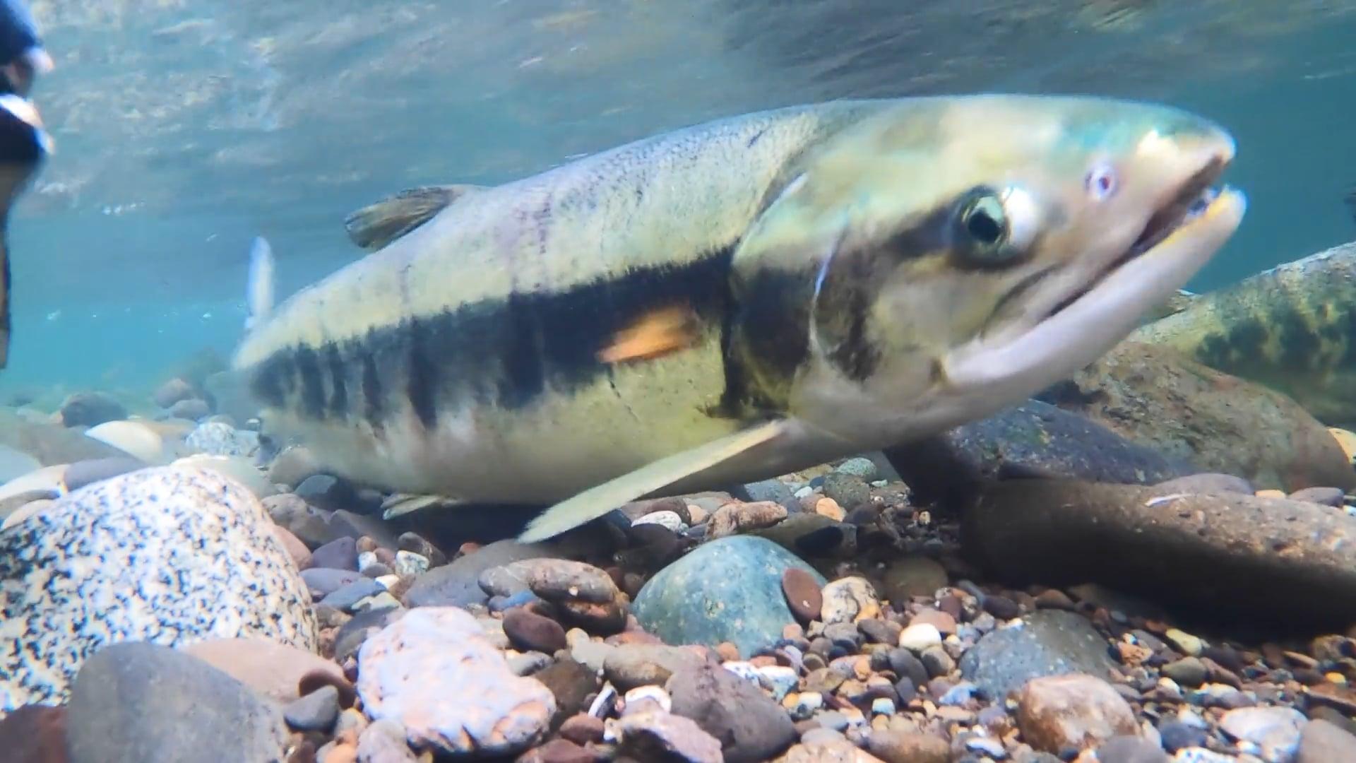 Moment of Zen: Salmon