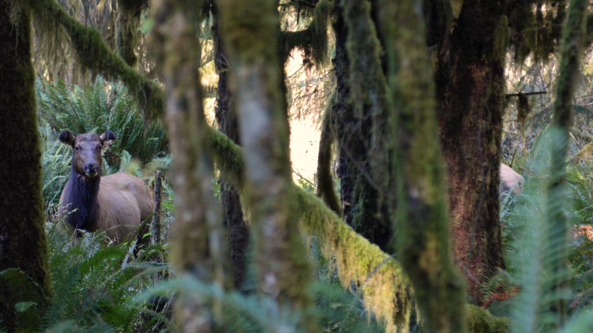 Moment of Zen: Hoh Rainforest Elk