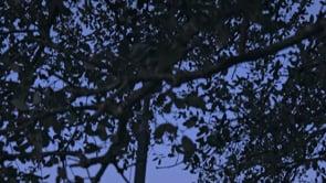 Palombes ibériques