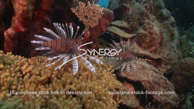 2361 lionfish on coral reef