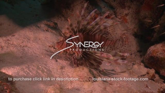 2362 lionfish on sea floor