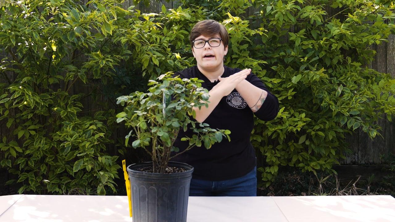 Rose Pruning Basics