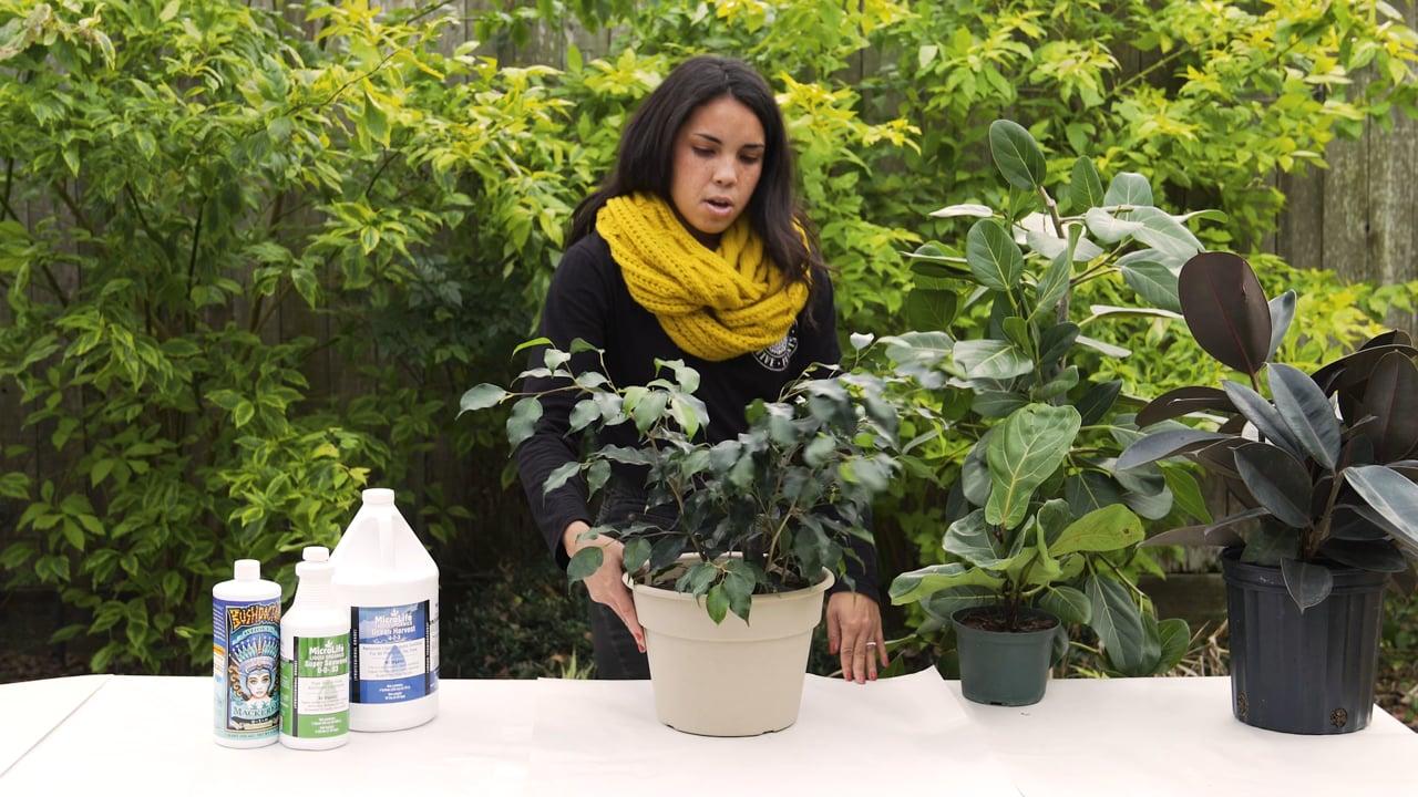 Ficus Care