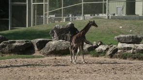 New Baby Giraffe on Exhibit