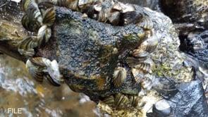 Zebra Mussels Eradicated from Lake Waco