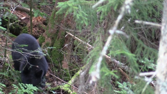 Diane Levin's Black Bear Hunt at Cedar Ridge Outfitters in Maine