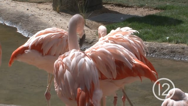 New Home for Chilean Flamingos