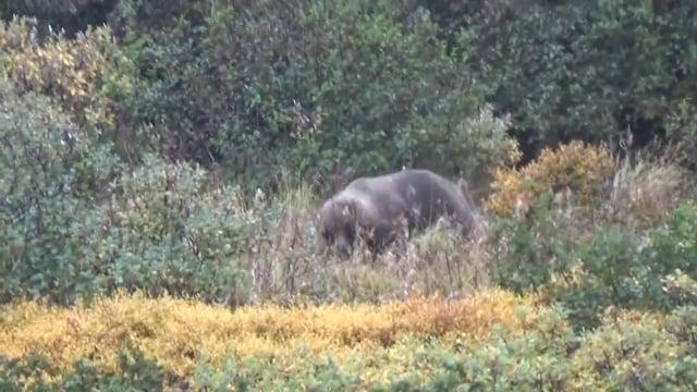 Alaska Brown Bear Hunt with Ray