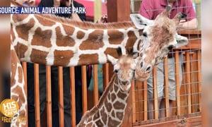 Sad news for fans of April the Giraffe