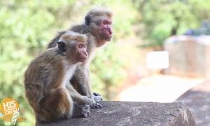 A couple dozen monkeys were making a break for the Swiss border!