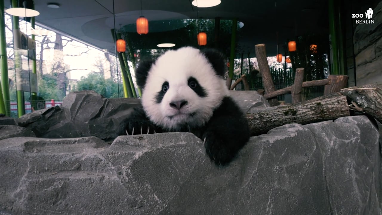 CGTN 2020 - New Pandas Unveiled at Berlin Zoo