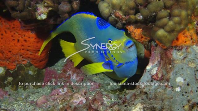 2635 queen angel fish