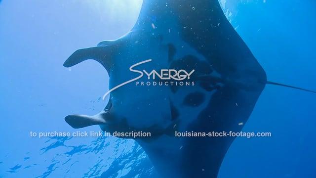 2628 large manta ray