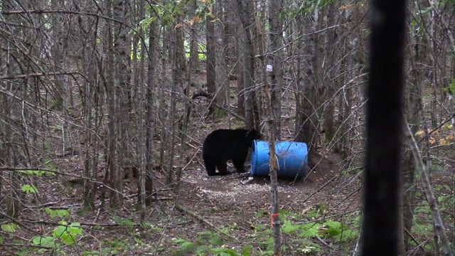 Maine Black Bear Hunt with Dave Laskey and Diane Levine
