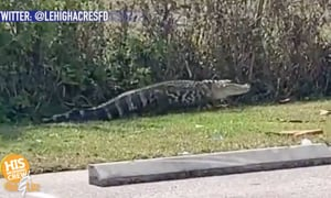 Did you see that gator at Wendy's??