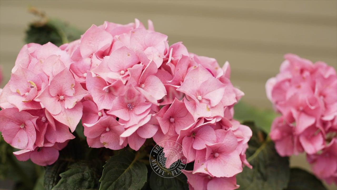 Hydrangea Tips