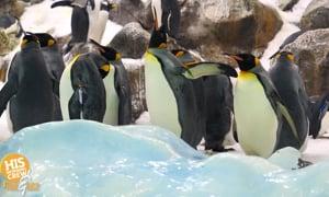 Elderly penguin gets shoes to help his arthritis!