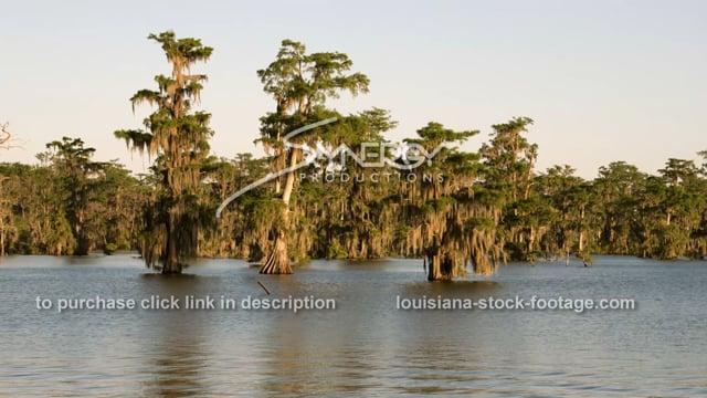 2904 Louisiana swamp cypress trees