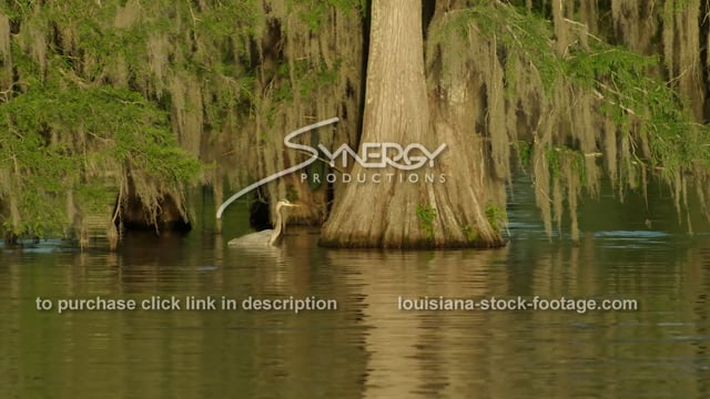 2910 blue heron in Louisiana swamp