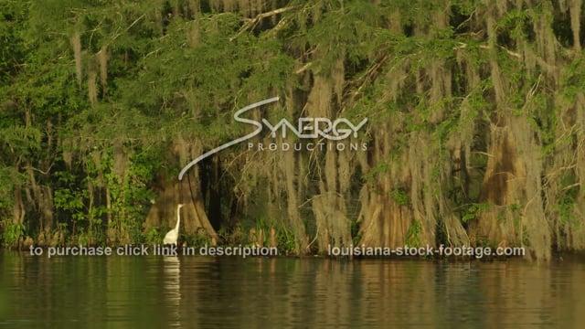 2911 sun shimmering on cypress trees swamp egret Louisiana swamp