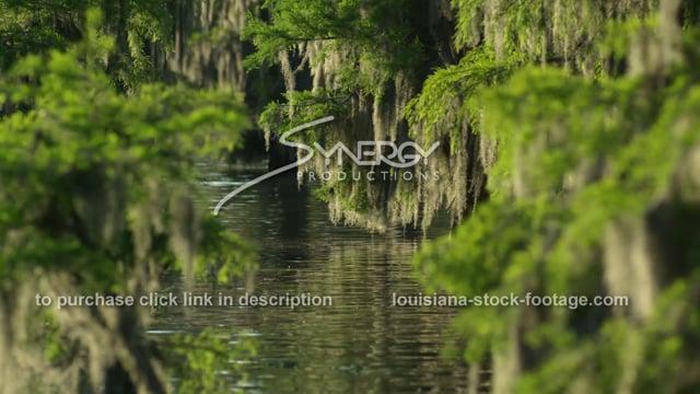 2913 beautiful spanish moss swaying cypress trees Louisiana swamp