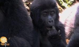 Gorillas meet snake outside the set of Jungle Book