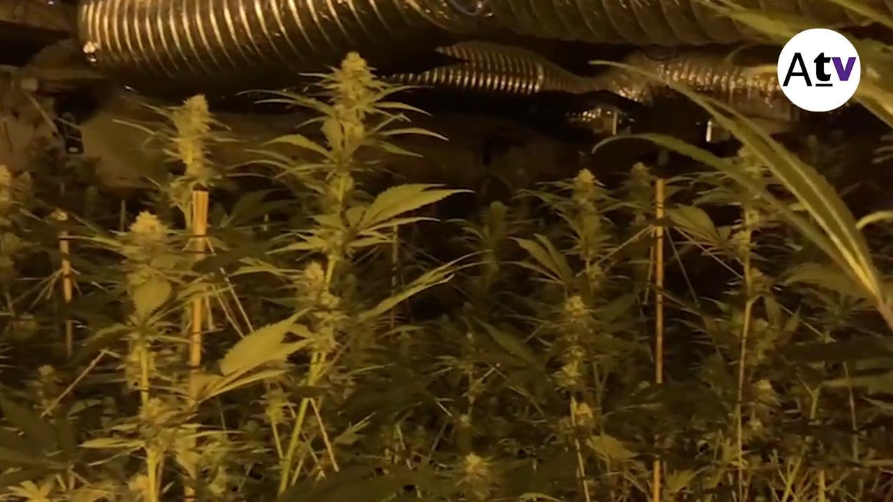 L'accident d'un cotxe cremat comporta el descobriment d'una altra plantació de marihuana a Arenys de Munt