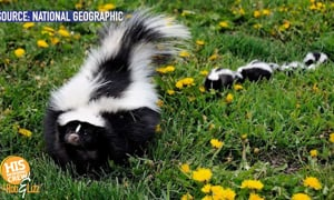 This skunk got himself in quite a pickle!