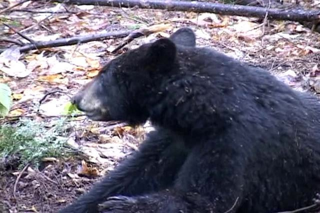 Bear hunting with Vermont National Guard member