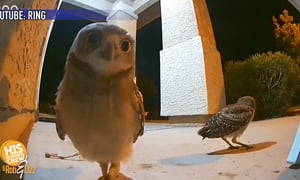 How many rings does it take to catch an owl on your front porch!